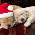 Como cuidar a un Cachorro en las Fiestas Navideñas