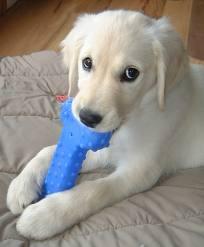 Aprende como educar a un Cachorro que Muerde Cosas