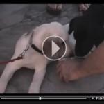 """Como Educar a un Cachorro. """"El Encantador de Perros"""" [Video]"""