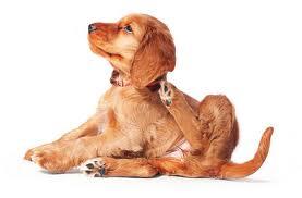 la sarna en perros cachorros